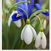 Snowdrops and Iris