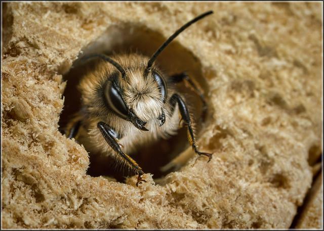 Red Mason-bee (m)