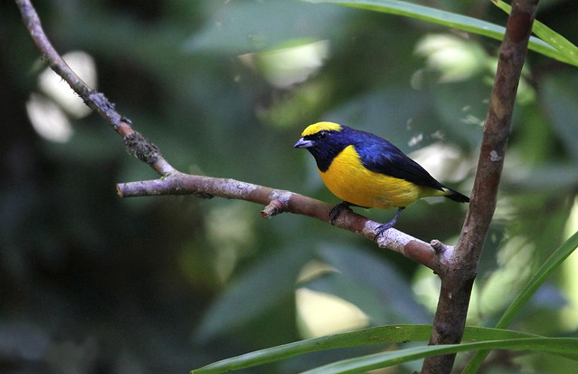 organiste à calotte jaune-Yellow-crowned euphonia-Euphonia luteicapilla