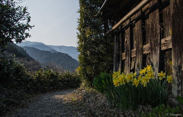 Daffodil, RICOH PENTAX K-3, smc PENTAX-DA 18-250mm F3.5-6.3 ED AL [IF]