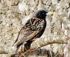 Starling on branch