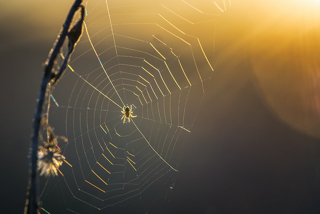 Sunset spider...