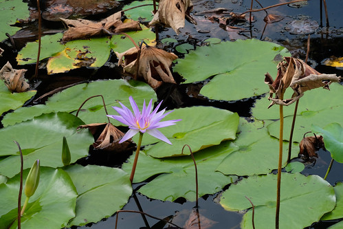 Purple waterlillies