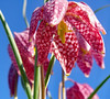 Snake's Head Fritillary close up