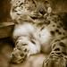 snow.leopard.color-1-3