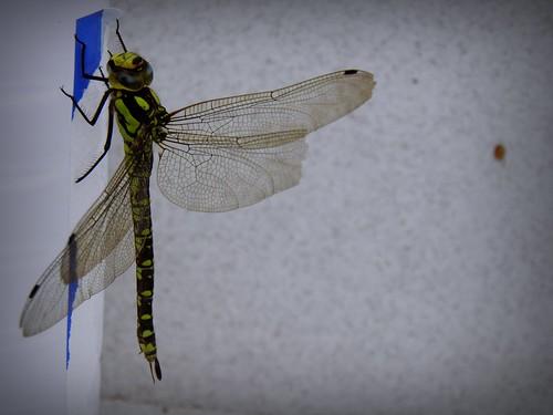 Visita de la libélula