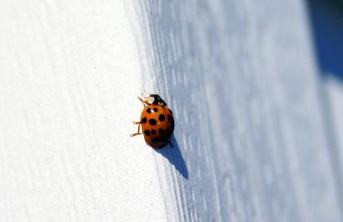 277/365 Ladybug at B's House