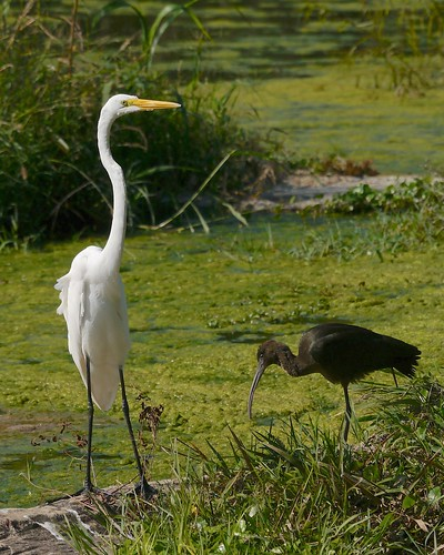 Great Egret and White-faced Ibis