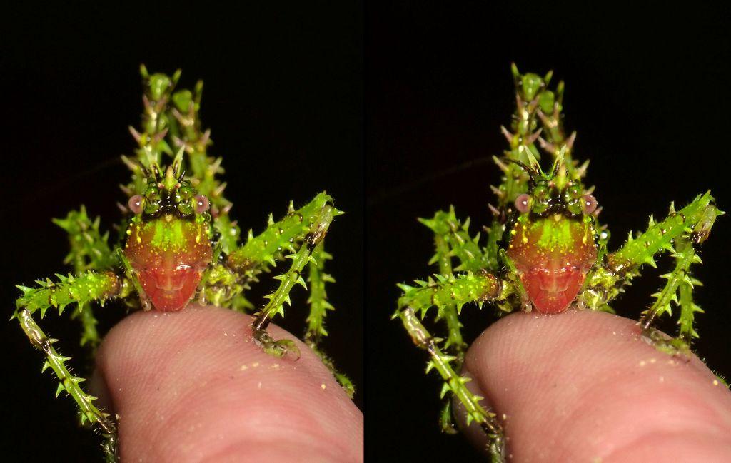 Spiny Katydid, Panacanthus sp.? Conocephalinae