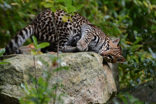 Ozelot Thiago  im Zoo de La Flèche