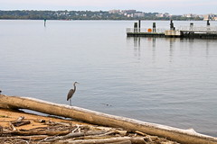 Heron by the Shore