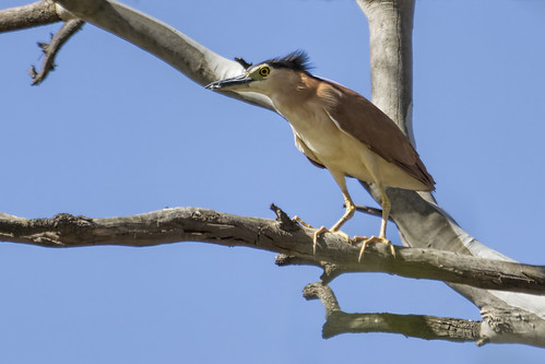 Nankeen Night Heron 2014-10-31 (_MG_5523)