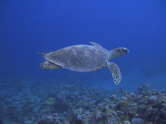 Hawksbill sea turtle #2