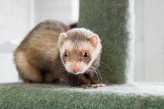 animal(1.0), weasel(1.0), mustelidae(1.0), fauna(1.0), marten(1.0), polecat(1.0), carnivoran(1.0), whiskers(1.0), mink(1.0), ferret(1.0),