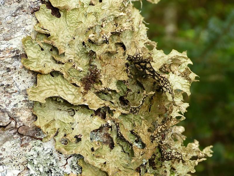 P1090806 - Tree Lungwort, Isle of Mull
