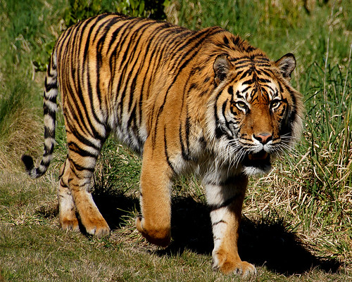 Sumatran tiger.