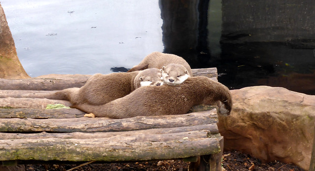 three brown-and-cream river otters lying on a wooden platform. One otter is stretched out, and the other two are leaning their fuzzy little heads on its belly.