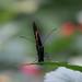 Schmetterling von vorne