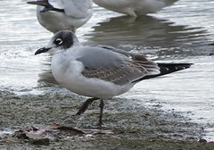 Franklin's Gull/ Caesar Creek S.P./ 10-21-2014