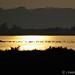 Common Pochards at sunset