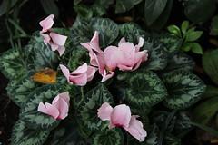 annual plant(1.0), shrub(1.0), flower(1.0), leaf(1.0), plant(1.0), flora(1.0), cyclamen(1.0), herbaceous plant(1.0), petal(1.0),