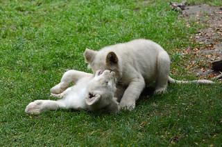 Transvaal-Löwen Nachwuchs im Zoo de La Flèche