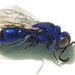 Avispa Chrysididae by aamenabar