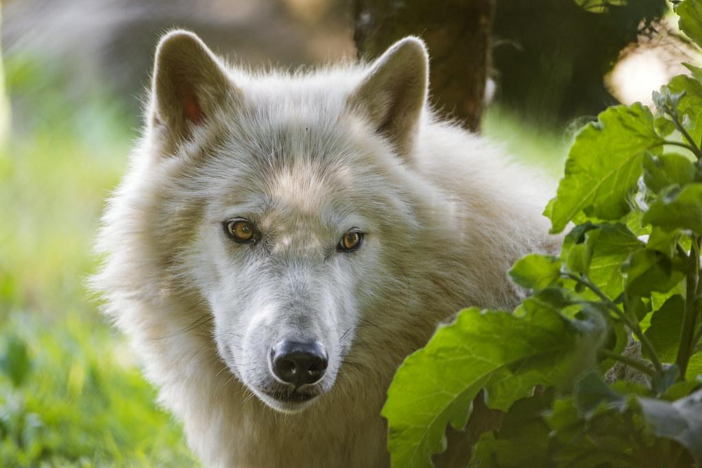 Shy arctic wolf