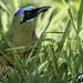 Udu-de-coroa-azul (Momotus Momota)