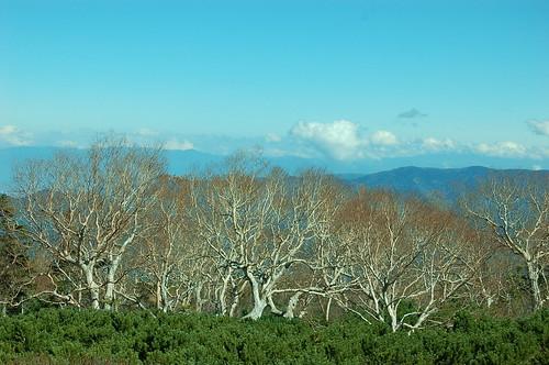 ダケカンバの裸木