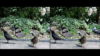 Wood pigeon - movie clip - 3d cross-view