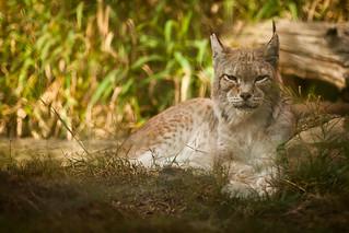 Quiet lynx