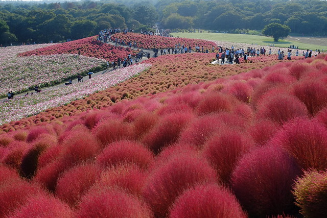 red Kochia bushes