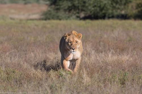 狮子害怕的非洲土著人