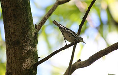 BLACK AND-WHITE WARBLER