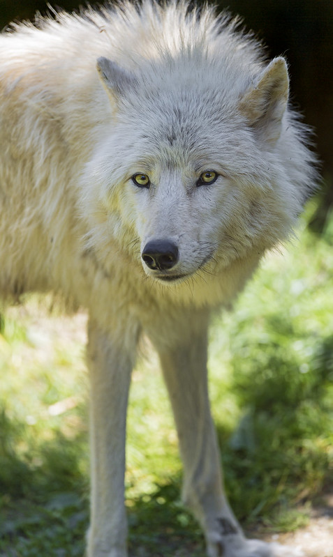 Nice fluffy arctic wolf