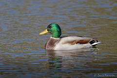 animal, water bird, duck, wing, water, nature, fauna, mallard, seaduck, beak, bird, wildlife,