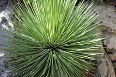 arecales(0.0), agave(0.0), flower(0.0), branch(0.0), tree(0.0), saw palmetto(0.0), plant stem(0.0), leaf(1.0), plant(1.0), flora(1.0), green(1.0), agave azul(1.0),