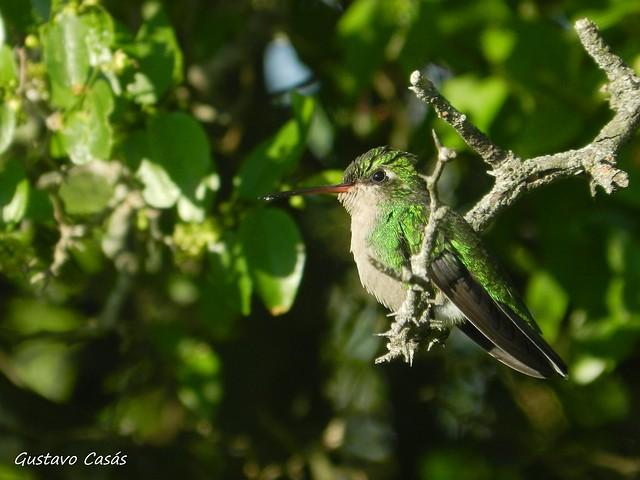Picaflor Verde (Chlorostilbon lucidus)