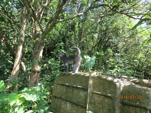 壽山園區內,木棧道徘徊的台灣獼猴。(攝影:陳綺鄉)