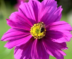 Une abeille dans le Cosmos ;-) - Photo of Autrêches
