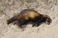 badger(0.0), animal(1.0), weasel(1.0), mustelidae(1.0), mammal(1.0), fauna(1.0), marten(1.0), polecat(1.0), mink(1.0), wildlife(1.0),