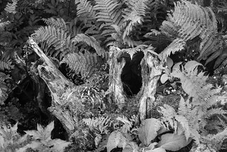 Ferns in the Stumpery