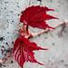 Red Maple Leaf by Santhosh Seetharaman