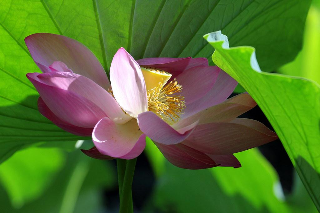 IMG_3605 Lotus
