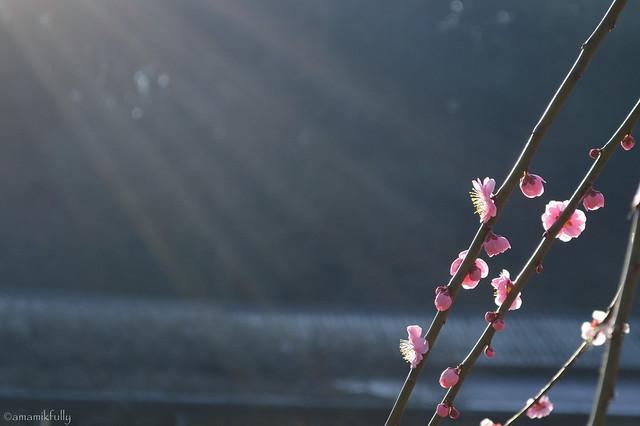 朝陽を浴びるシダレウメ
