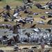 White-naped Cranes (Dani Free)