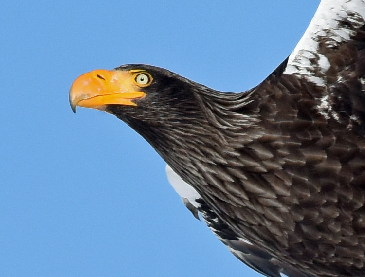 A portrait of a flying Steller's sea eagle