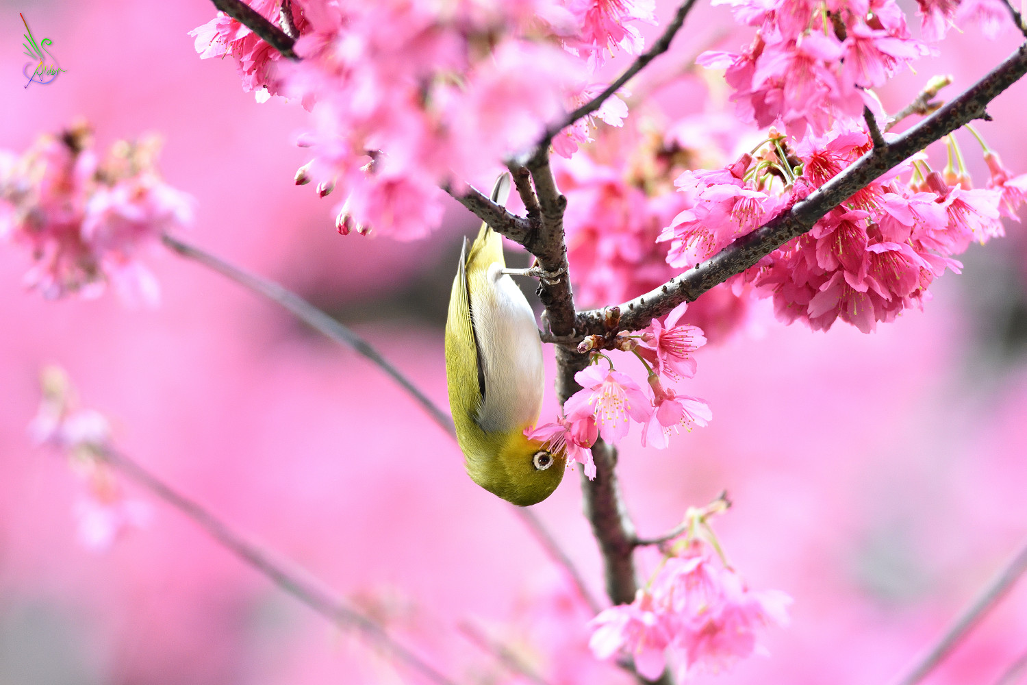 Sakura_White-eye_8094