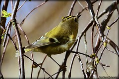 Goldcrest on our weeping birch